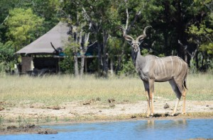 Little Makalolo - male kudu